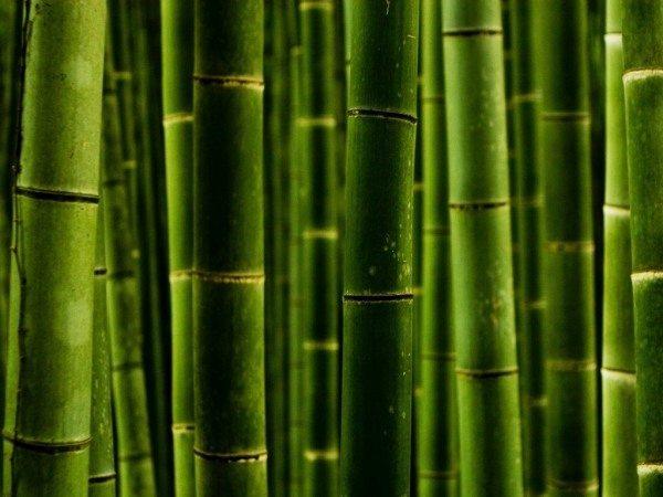 Бамбуковые заросли - символ экологической чистоты и единения с природой