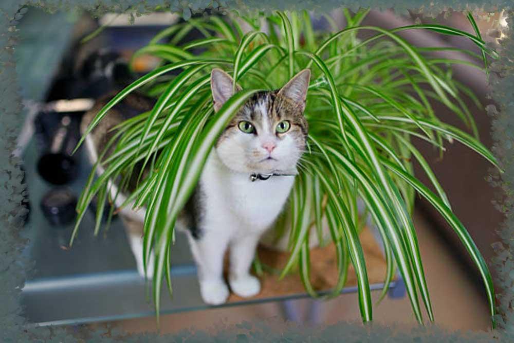 Многие владельцы котов замечают, что они любят объедать листья хлорофитума. Яркие висячие листочки привлекают четвероногих не только своим цветом, но и неприметным для людей запахом.