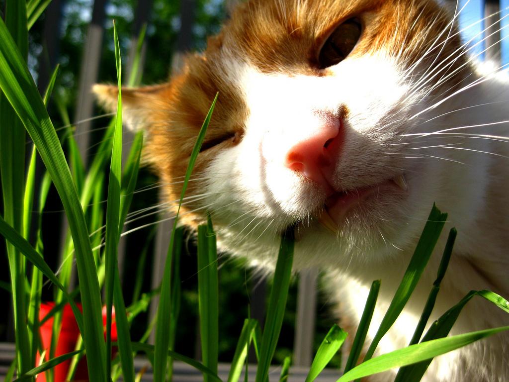 Зелень обязательно должна присутствовать в ежедневном рационе кошек. И если это будет лук, петрушка или укроп со своего огорода – замечательно. Вы будете уверены, что она не содержит опасную ртуть, которую часто добавляют для ускоренного роста зелени в промышленных масштабах.
