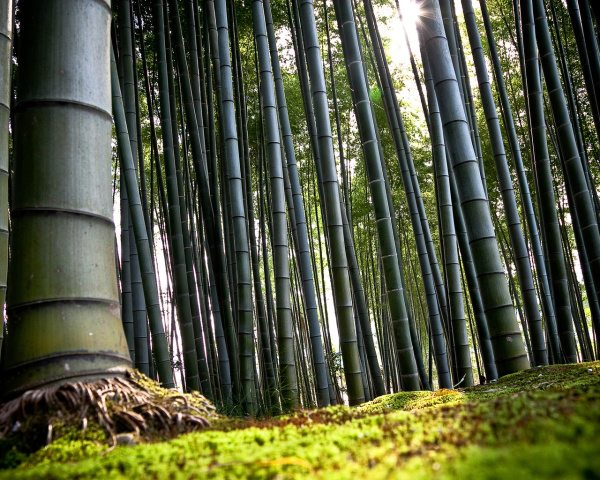 Фото бамбуковой рощи.
