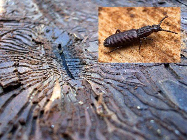 На фото жук-короед и результаты его жизнедеятельности