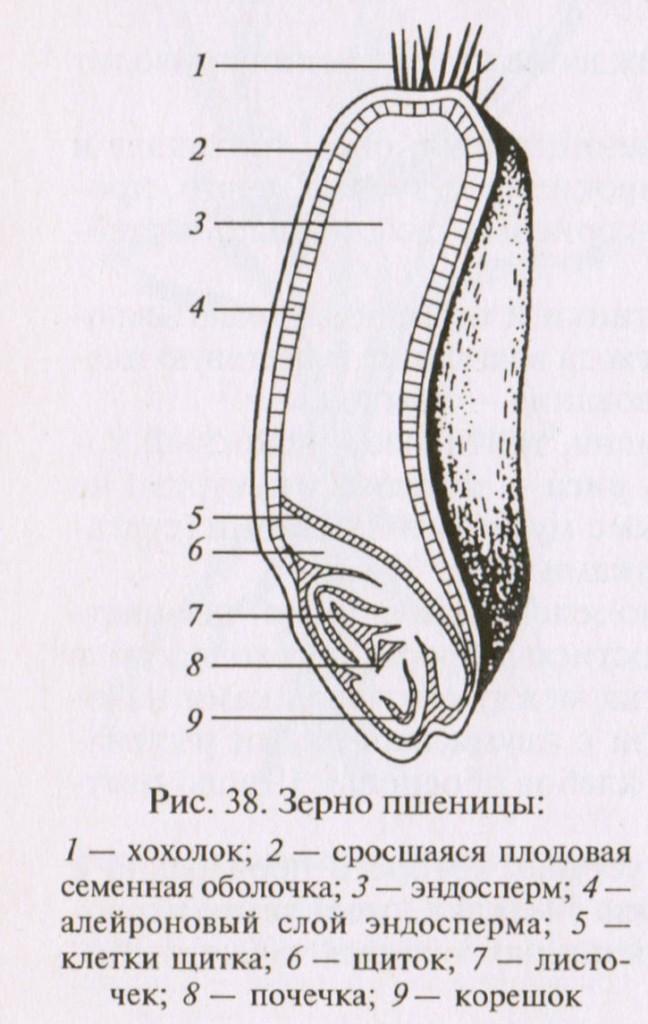 Строение пшеничного зерна в разрезе.